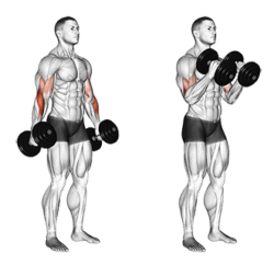 Hammer Curl muscles work – BicepsExercise!