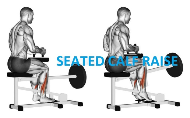 Seated calf raises performance